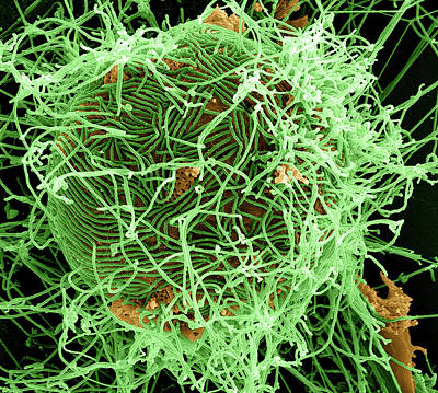 Ebola Virus Budding From Cell Print by National Institutes Of Health/niaid