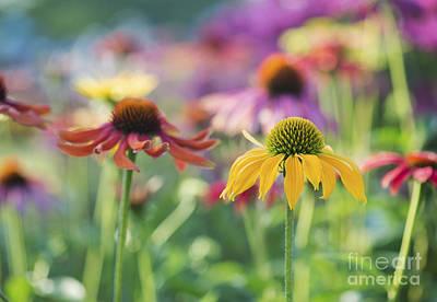 Gardening Photograph - Echinacea Cheyenne Spirit by Tim Gainey
