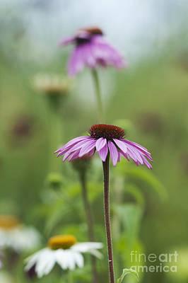 Mauve Photograph - Echinacea Purpurea Magnus  by Tim Gainey