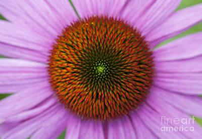 Ornamental Plant Photograph - Echinacea Purpurea Rubinglow Flowers by Tim Gainey