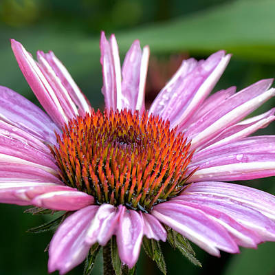 Pink Flower Photograph - Echinacea Square by Bill Wakeley