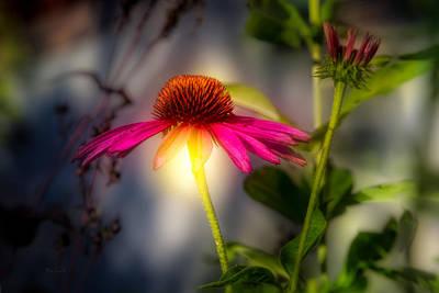 Cones Photograph - Echinacea Sunrise by Bob Orsillo