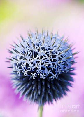 Blue Flowers Photograph - Echinops Ritro Veitchs Blue Flower by Tim Gainey
