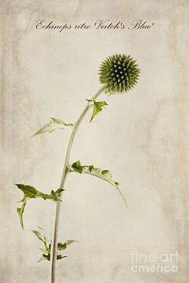 Echinops Ritro 'veitch's Blue' Print by John Edwards