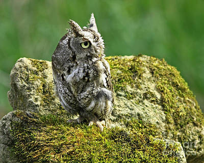 Echo Of An Eastern Screech Owl  Print by Inspired Nature Photography Fine Art Photography