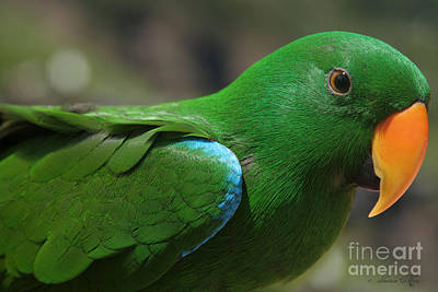 Eclectus Roratus Print by Sharon Mau