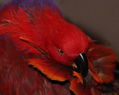 Photograph - Eclectus Victoria by  Andrea Lazar