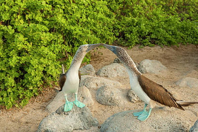 Boobies Photograph - Ecuador, Galapagos National Park, San by Jaynes Gallery