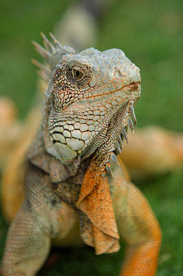Monster Photograph - Ecuador Guayaquil Iguana In Iguana Park  by Anonymous