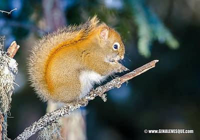 Animals Photograph - Squirrel by Gina Levesque