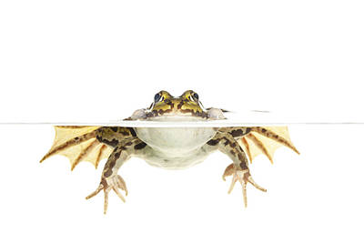 Frogs Photograph - Edible Frog Floating Netherlands by Jelger Herder