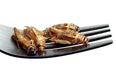 Cricket Photograph - Edible Insects by Victor De Schwanberg