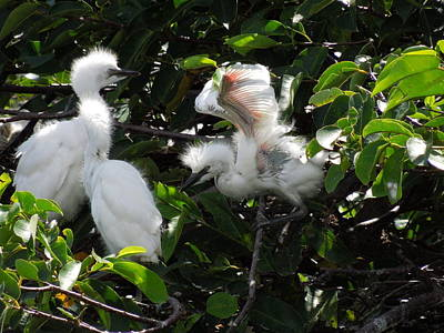 Flowers On Line Photograph - Egret Chicks by Ron Davidson