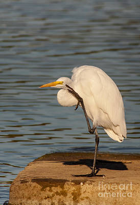 Egret Has A Thought Print by Robert Frederick