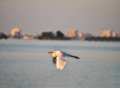 Egret Photograph - Egret In Flight - Clearwater Florida by Bill Cannon