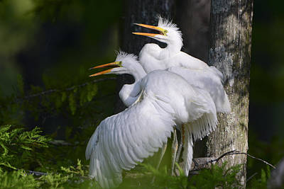 Evangeline Photograph - Egret Nestlings In A Cypress Swamp by Bonnie Barry