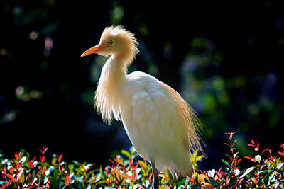 Ibis Photograph - Egret With Back Lighting by Zoe Ferrie