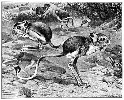 Egyptian Jerboas Print by Science Photo Library