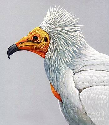 Vulture Painting - Egyptian  Vulture by Pg Reproductions