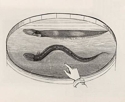 Prescott Photograph - Electric Eel In A Tank Of Water by King's College London
