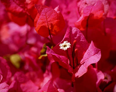 Blossoms Photograph - Electric Pink Bougainvillea by Rona Black