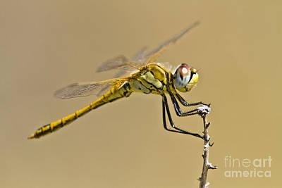 Elegant Dragonfly Print by Heiko Koehrer-Wagner