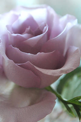 Rose Portrait Photograph - Elegantly by  The Art Of Marilyn Ridoutt-Greene