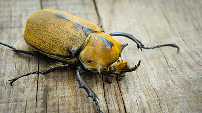 Invertebrate Photograph - Elephant Beetle by Aged Pixel