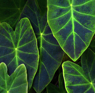 Elephant Ear Leaves Detail (large Print by Anna Miller