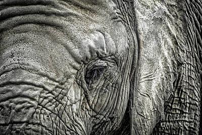 Wrinkled Photograph - Elephant by Elena Elisseeva