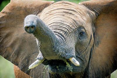Elephant  Elephantidae  Feeding Print by Remsberg Inc