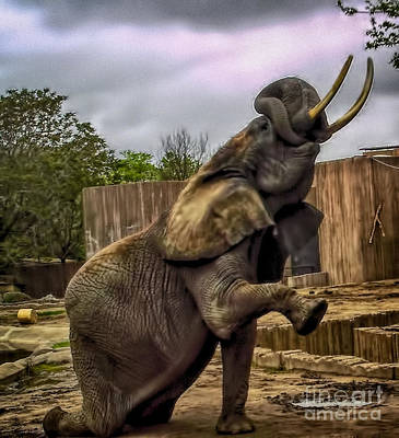 Elephant Kneeling Print by Jeremy Linot
