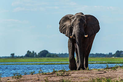 The Big Five Photograph - Elephant  Loxodonta Africana by Nick Dale