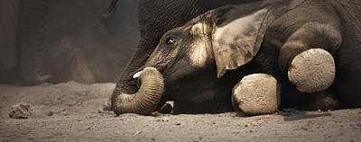 Bathing Photograph - Elephant - Lying Down by Johan Swanepoel