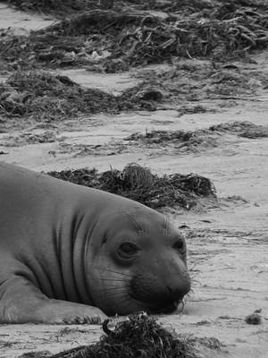 Ano Nuevo Photograph - Elephant Seal Conteplation by Gwendolyn Barnhart