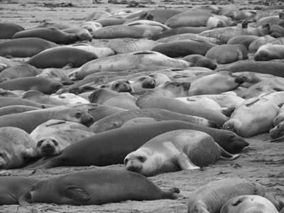 Elephant Seal Sea Print by Gwendolyn Barnhart
