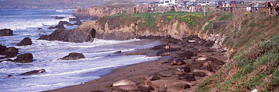 Cambria Photograph - Elephant Seals On The Beach, San Luis by Panoramic Images