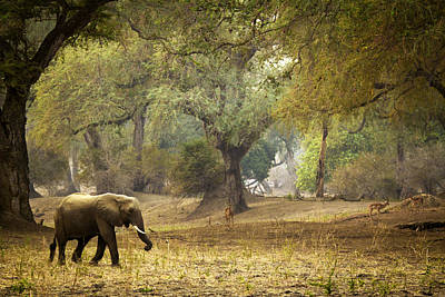 Elephant Strolling In Enchanted Forest Print by Alison Buttigieg
