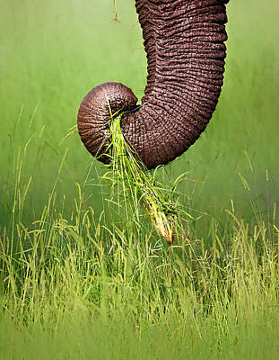 Feed Photograph - Elephant Trunk Pulling Grass by Johan Swanepoel