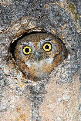 Us Fauna Photograph - Elf Owl Nesting In Tree Cavity by Craig K Lorenz