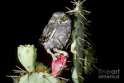 Owlet Photograph - Elf Owlet by Art Wolfe