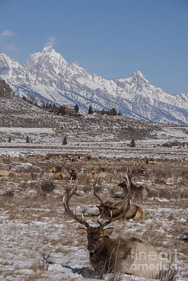 Bull Photograph - Elk And The Grand Tetons by Juli Scalzi