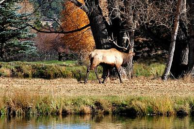 Elk Photograph - Elk Bugling By A Lake by Marilyn Burton