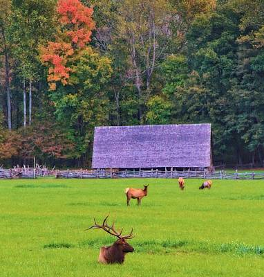 Barn In Tennessee Photograph - Elk During The Rut In Tennessee by Dan Sproul