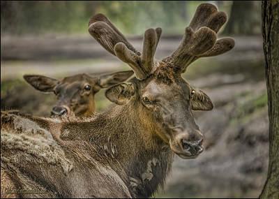 Tree Photograph - Elk Private Time by LeeAnn McLaneGoetz McLaneGoetzStudioLLCcom