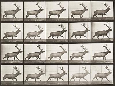 Elk Painting - Elk Trotting  by Celestial Images