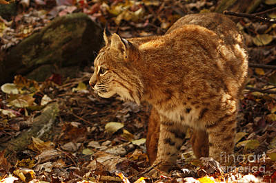 Elusive Bobcat On An Autumn Prowl In  Print by Inspired Nature Photography Fine Art Photography