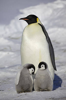 Emperor Penguin Photograph - Emperor Penguin And Two Chicks by Frederique Olivier