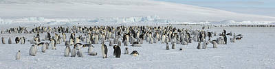 Penguin Photograph - Emperor Penguins Aptenodytes Forsteri by Panoramic Images
