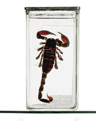 Arachnid Photograph - Emperor Scorpion Specimen by Ucl, Grant Museum Of Zoology